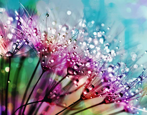 Rainbow dandelions with water droplets